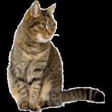 tabbycat_2