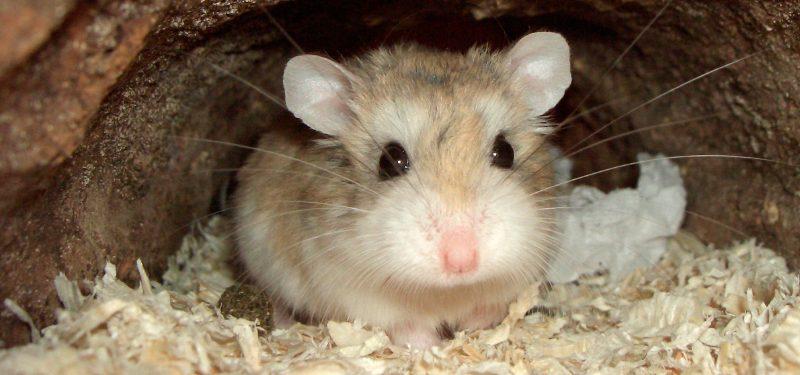 hamster-roborowski-1-800x375
