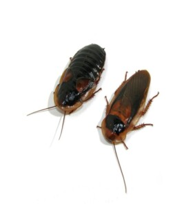 racion-cucarachas-blaptica-dubia-medianas